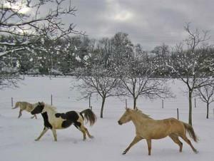 Chevaux en pension : Détente au parc en hiver