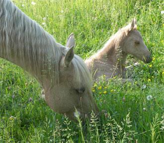 pouliche quarter horse : premiers instants au parc
